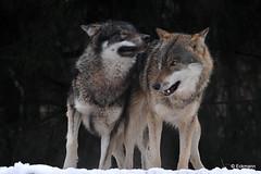 Brothers - explore 29. Jan 2015 (Nephentes Phinena ☮) Tags: wolf greywolf europeangreywolf wildparkeekholt grauwolf europäischergrauwolf teleobjektivbilder