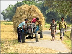 Whats Up Here? (dark-dawud) Tags: life road trees people tractor men asia asians rice folk farming wheels harvest culture farmland bales bale ricefields sylhet bangladesh tyres natives wayoflife lungi youngmen riceharvest ricecrop sylhetregion kaistogram