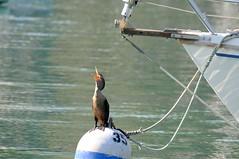 2014 Double-crested Cormorant (DrLensCap) Tags: park chicago bird robert harbor illinois il lincoln montrose cormorant kramer doublecrested