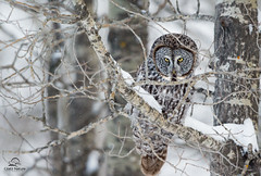 The Look from GGO (Glatz Nature Photography) Tags: trees winter snow canada bird forest eyecontact greatgreyowl raptor alberta owl birdofprey strixnebulosa borealforest phantomofthenorth