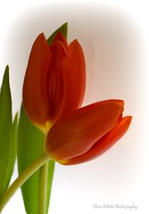Tulip Portrait (Clare-White) Tags: flowers 2 two portrait orange tulips