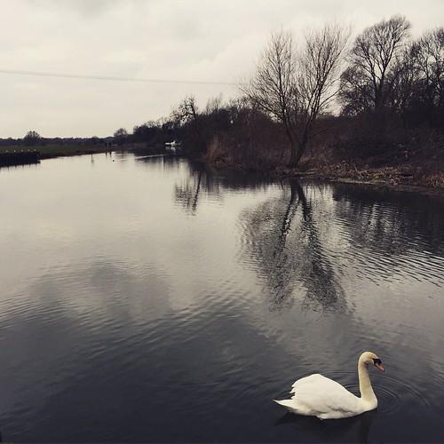 #swan #river