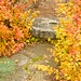 Fothergilla in the Fall