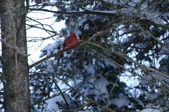 008 (d315thedeity) Tags: winter snow cold tree bird cardinal