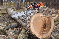 AAA (7 of 11) (dlgtreeservice) Tags: tree saw woods timber chainsaw ashtree ash lumberjack lumber woodsman treetrimming arborist stihl treeremoval treeclimber emeraldashborer treeservice treeexperts stihlusa