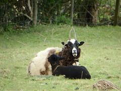 Satanic Sheep (Munki Munki) Tags: sheep satanic chewingcud jacobsheep nyorks
