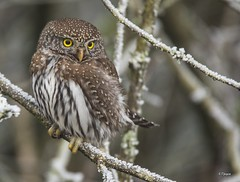 Northern Pygmy-Owl (T0nyJ0yce) Tags: wild birds frost little fierce wildlife raptor tiny owl icy birdofprey ferocious talons owleyes northernpygmyowl glaucidiumgnoma canon7dmarkii tamron150600