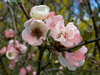 Quince (Chaenomeles) P1180801mods (Andrew Wright2009) Tags: uk pink flowers england plants white garden hall royal hyde blush society essex horticultural quince rhs chaenomeles cultivated