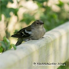 Chaffinch Female (Huddsbirder) Tags: bird sony finch chaffinch rspb leightonmoss a6000 huddsbirder e55210