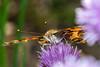 Painted Lady Butterfly (Scott Michaels) Tags: macro nikon kirk paintedlady d600 nikon105mmvr sc28 macrobracket sb700