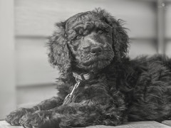 sir guinness (rockinmonique) Tags: portrait dog baby monochrome canon puppy mono sweet poodle pooch tamron 52in52 moniquew