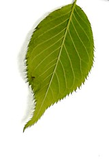 Cherry leaf (underside) (tiger289 (The d'Arcy dog supporters club)) Tags: flowers trees plants fish plant flower tree bird nature grass birds animal garden restaurant leaf petals spring pond squirrels branch perfume westsussex blossom outdoor wildlife bees lawn insects foliage bark carp redwoods rabbits ww1 pollen magpie deciduous ponds allotment shrubs naturalworld hardwood cherrytrees lawns fruittree manorhouse laburnum saplings chalkpit beechtrees flowerbeds digforvictory highdown redbark avenueoftrees judastree highdowngardens iteaceae iteailicifolia floralwalk acidbeds highdownmanor foodproductionathome hollyleavedsweetspire