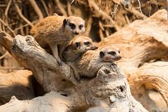 Zoo_Do_2016-43.jpg (Wotan1081) Tags: zoo dortmund tier erdmnnchen