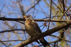 ... (JoannaRB2009) Tags: kwiczo turduspilaris fieldfare bird nature closeup tree park parkjulianowski d lodz polska poland spring