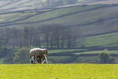 DSC_0027 -  Bed and Breakfast, Wensleydale (SWJuk) Tags: uk morning england spring nikon holidays sheep unitedkingdom britain farm yorkshire gb lambs gayle dales yorkshiredales lightroom wensleydale ewe 2016 18300mm d7100 rawnef gaudyhousefarm swjuk nikond7100 may2016