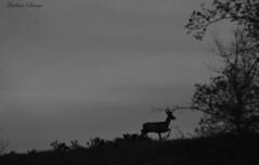 El corzo al anochecer // Roe Deer at dusk {Capreolus capreolus} (Cazadora de Fotos) Tags: white black cute love blanco beautiful animal contraluz nice awesome negro deer animales lovely roe ciervo salvajes salvaje corzo