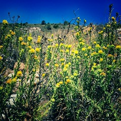 Yellow thistles on the old coast road between Nerja and Maro (juliavhill) Tags: nature yellow spain flora thistle bluesky andalucia wildflowers nerja countrywalk maro