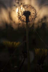 Good night (frantiekl) Tags: sunset sun plant flower detail nature grass evening spring mood blossom bokeh outdoor may meadow czechrepublic flowering dandelions westbohemia