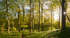 sunrise in the wood (w-venne) Tags: wood panorama green forest landscape buchenwald spring pflanze landschaft bume sonnenaufgang beech frhling beechwood brlauch