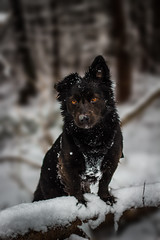 """""""beware the wolf"""" (Jon.the.canadian) Tags: winter portrait dog snow dogs nature animals puppy outdoors posed piercing schipperke awe striking shadowthedog"""