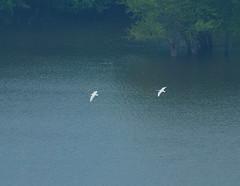 Tundra Swans (Cygnus columbianus) (wackybadger) Tags: white bird water wisconsin river nikon mississippiriver grantcounty tundraswan cygnuscolumbianus nikond60 wisconsinstatenaturalarea nikon70300mmf4556gafsvr gasnerhollowsna sna261