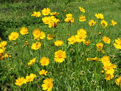 Coreopsis 'Tetra Giant' (AmyWoodward) Tags: coreopsis fantasticflower
