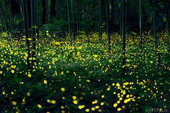 The secret party (ck0375s) Tags: light nature japan night forest insect landscape nikon outdoor d750 serene firefly