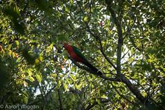 The King (aaron.wiggan) Tags: native may parrot australia kingparrot brid 2016 camphorlaurel cabbagetreecreek aaronwiggan kinglorikeet