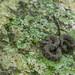 Northern Watersnake (Nerodia sipedon)