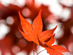 Red (Jens Haggren) Tags: olympus em1 japanesemaple tree red bokeh nature ourgarden nacka sweden