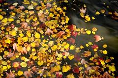 Leaves on water (jaume vaello) Tags: hojas leaf bruselas brujas nikor18105 nikond5100