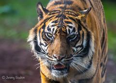 Last time (JKmedia) Tags: paigntonzoo boultonphotography bigcats feline zoo captivity tiger pantheratigrissumatrae stripes profile n15c