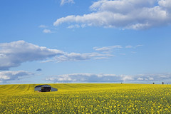 Rapeseed Field 2016 (SedatPhotography) Tags: blue summer field yellow barn out landscape spring nice day outdoor dorset rapeseed 2016
