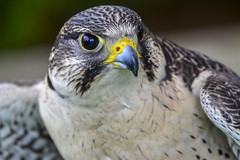 Falcon (TinaH31) Tags: bird nature raptor falcon