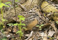 American Woodcocks (Hockey.Lover) Tags: ohio birds americanwoodcock mageemarsh mageemarshboardwalk ohio2016