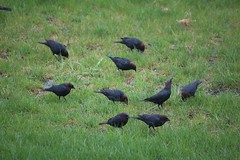 visiting birds (WhollyRooted) Tags: birds spring flock cowbirds greengrass