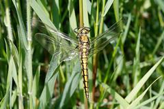 Black-tailed skimmer imm m (Steve Balcombe) Tags: uk male dragonfly somerset immature levels skimmer odonata anisoptera blacktailed orthetrum cancellatum westhaymoor avalonmarshes
