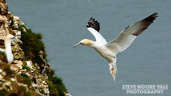 Coming home to the wife (Steve Moore-Vale) Tags: sea england birds flying unitedkingdom wildlife yorkshire places landing perched nesting florafauna fotobuzz northerngannet morusbassanus rspb bemptoncliffs