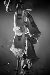 inside (B/W) (w-venne) Tags: bw plant blossom pflanze naturereserve sw foxglove blte sonnenaufgang ort fingerhut naturschutzgebiet senne nsgmoosheide digitalisspec