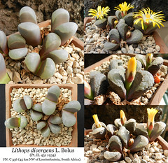 Lithops divergens var. amethystina (collage) (Succulents Love by Pasquale Ruocco (stabiae)) Tags: collage southafrica succulent lithops mesembryanthemum mimicry succulents stabiae mimetismo piantegrasse aizoaceae succulente mesembryanthemaceae divergens cactusco mesembs f356 pasqualeruocco mesembryanthema succulentslove forumcactusco