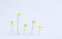 147/366: Stand tall [Explored] (judi may) Tags: flowers stilllife white daisies 50mm bottles small minimal whitebackground tiny simplicity highkey minimalism simple standtall canon7d day147366 366the2016edition 3662016 26may16