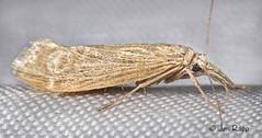 # 5492 – Eoreuma densella – Wainscot Grass-veneer Moth (Wildreturn) Tags: missouri moth mo mothsofmissouri mothsofmissourifieldguide mmfg moths lepidoptera usa boonecounty insects insecta insect polkcounty lapetitegemprairie hodges5492 5492 eoreuma eoreumadensella wainscotgrassveneermoth crambidae crambidsnoutmoths