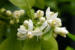 tree (Bienenwabe) Tags: flower macro citrus pomelo rutaceae flowermacro pampelmuse citrusmmaxima pampelmusenbaum