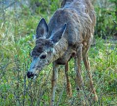 mule deer - banf NP, canada (AB) 4 (Russell Scott Images) Tags: canada mountains rocky ab canadian alberta banff banffnationalpark muledeerodocoileushemionus