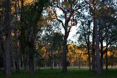 Tuckean Island (dustaway) Tags: landscape australia pasture nsw australianlandscape lateafternoon myrtaceae northernrivers richmondvalley swampbox lophostemonsuaveolens afternoonlandscape tuckeanswamp tuckeanisland