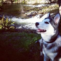 by the creek (ameliabeare) Tags: dog puppy malamute alaskanmalamute