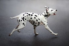 Yoko (Martyna Og) Tags: dalmatiangirl runningdog doginaction jumpingdog happytail actionshoot pet animal sport doginspots flickrfriday flickr friday littledoglaughedstories