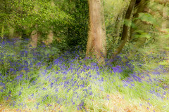 Bluebells (alanrharris53) Tags: wood bluebells woodland leicestershire loughborough outwoods