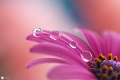 Four in a row! (Trayc99) Tags: pink flower macro water beautiful droplets petals drops bright softness gotas colourful delicate waterdrops floralart beautyinnature flowerphotography beautyinmacro