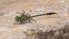 7K8A5376 (rpealit) Tags: nature forest scenery state dragonfly wildlife stokes unicorn clubtail